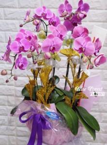 台灣蝴蝶蘭祝賀枱花連底盆5枝裝