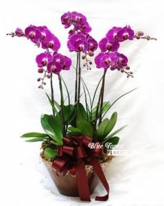 台灣蝴蝶蘭祝賀枱花連底盆(6枝裝*紫紅色)