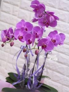 台灣蝴蝶蘭祝賀枱花連底盆(3枝裝)