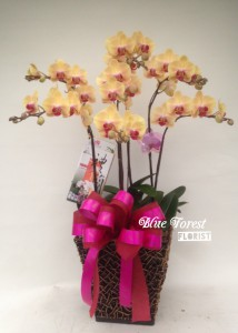 台灣蝴蝶蘭祝賀枱花連底盆(5枝裝*黃色)
