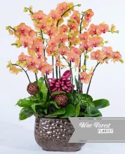 台灣蝴蝶蘭祝賀枱花連底盆(12枝裝*橙黃色)