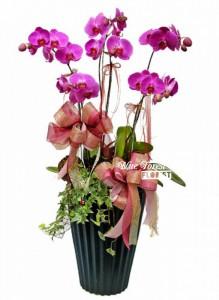 台灣蝴蝶蘭祝賀枱花連底盆(5枝裝*紫紅色)