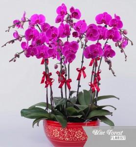 台灣蝴蝶蘭祝賀枱花連底盆(8枝裝*紫紅色)
