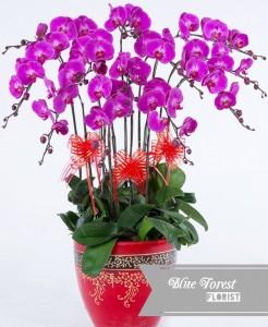 台灣蝴蝶蘭祝賀枱花連底盆(10枝裝*紫紅色)