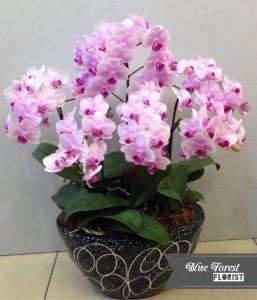 *台灣蝴蝶蘭祝賀枱花連底盆(6枝裝*粉紅色)