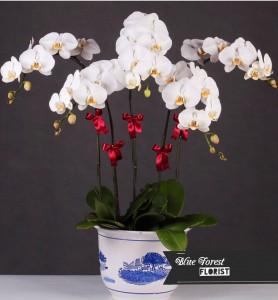 台灣蝴蝶蘭祝賀枱花連底盆(5枝裝*白色)