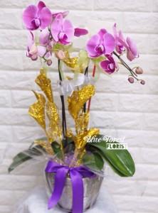 台灣蝴蝶蘭2支裝連盆多色選擇(粉紅/紫色/白色)